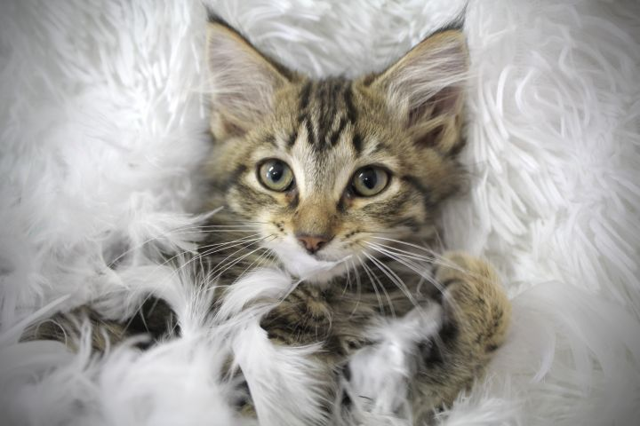 Cuddly Caroline, an adopted Maine Coon & Domestic Long Hair Mix in Saint Augustine, FL