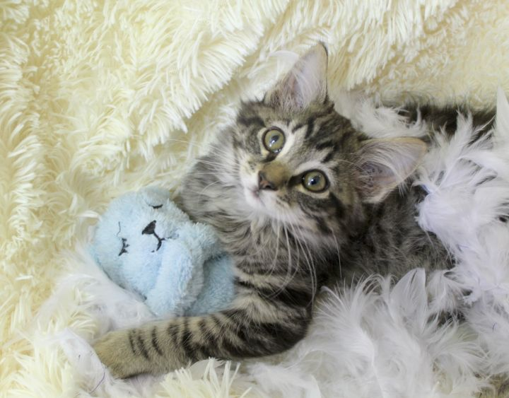 Comedic Cooper, an adopted Maine Coon & Domestic Long Hair Mix in Saint Augustine, FL
