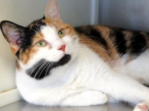 Tiara, an adoptable Calico in Carrollton, GA