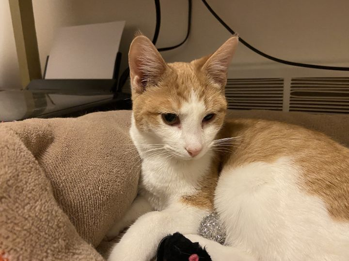 Moe - Pending Adoption, an adopted Domestic Short Hair in Minneapolis, MN