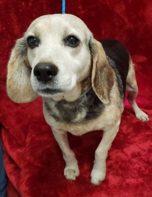 MARCIA 8yo 28lbs Beagle Mix Spayed Female Lower Active Still needs about 1 hour of steady slow