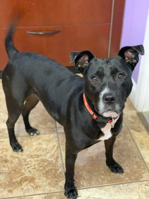 Who doesnt love a  Cookie is a 4 yr female pit mix who recently came from Florida She was