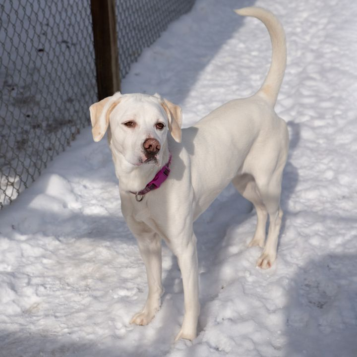 Nelly, an adopted Labrador Retriever Mix in Westfield, NY
