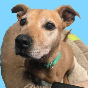 Hardy is a fantastic dog especially if you are looking for a laid back snuggle bug He gets along wi