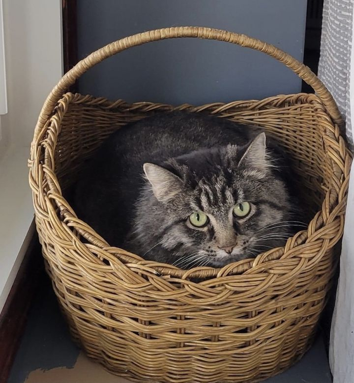 Phantom, an adoptable Domestic Long Hair in Wheaton, IL
