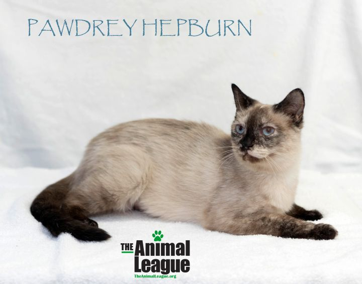 Pawdrey Hepburn, an adoptable Snowshoe & Siamese Mix in Clermont, FL