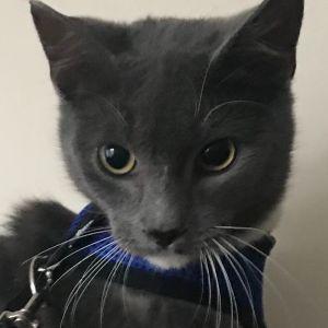 Kat Domestic Short Hair Cat