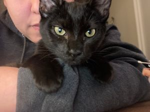 Meet Dimitri this sweet little guy is just 7 months old and a lap kitty Loves to cuddle give head