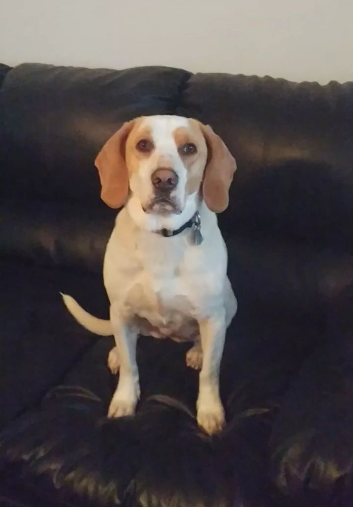 Misty, an adopted Basset Hound & Beagle Mix in Knoxville, TN