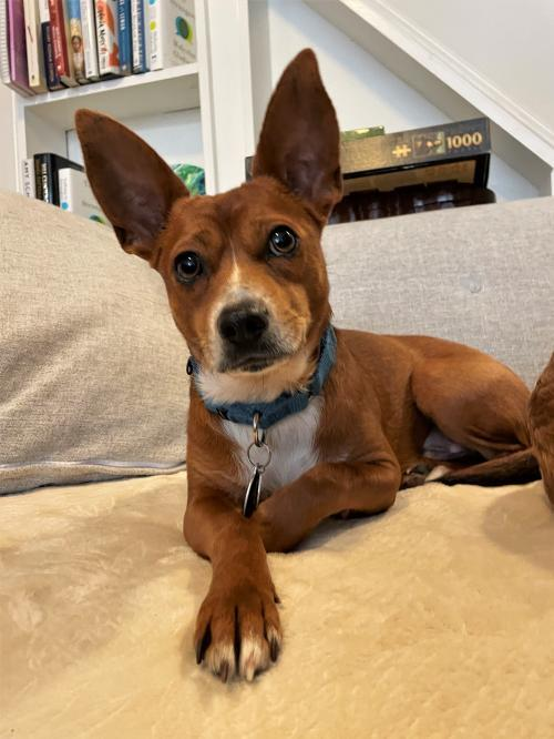 JJ - ADOPTED!!, an adopted Basenji & Rat Terrier Mix in Arlington, VA_image-1