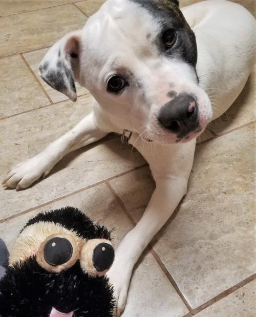 Hazel - ADOPTED!!, an adopted American Staffordshire Terrier Mix in Arlington, VA_image-1