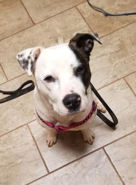 Hazel - ADOPTED!!, an adopted American Staffordshire Terrier Mix in Arlington, VA_image-3