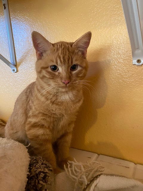 Chester, an adopted Domestic Short Hair in Ridgway, CO