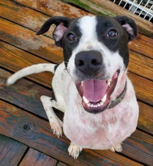 1-2 year old Ringer To adopt call Lisa 914-469-6605