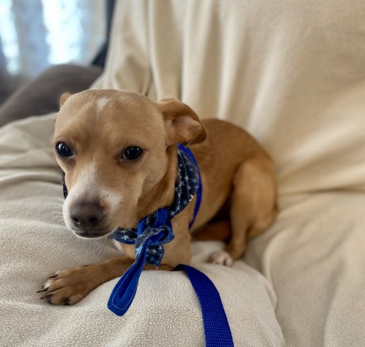 Dunn, an adoptable Chihuahua Mix in Holmdel, NJ