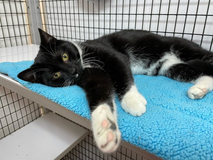 Augustus, an adopted Domestic Short Hair in Alexandria, VA_image-3