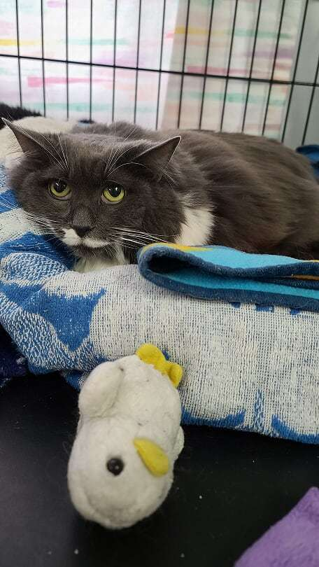 Dolly, an adopted Domestic Medium Hair Mix in Monroe, MI