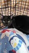 Brooklyn, an adoptable Domestic Short Hair in Monroe, MI_image-1