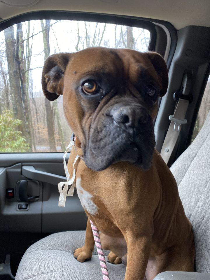 Frollo, an adopted Boxer Mix in Southbury, CT