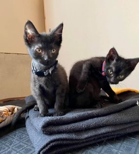 Bat Kitten - Lawrence, an adopted Domestic Short Hair in Kentwood, MI