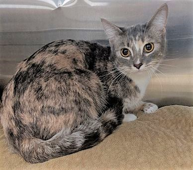 Adoption Pending  Lucy (Downers Grove) 1