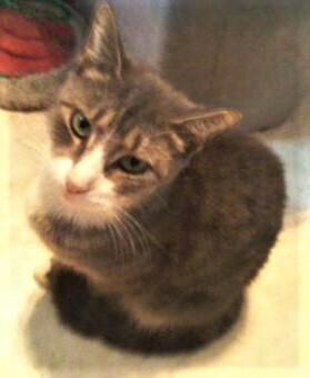 Calliope, an adoptable Domestic Short Hair in Breinigsville, PA