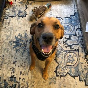 Redd is a wonderful pup who is currently being the best boy with his foster mom Since he was very