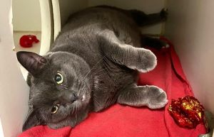 The Foster Writes Zoey is a beautiful silvery gray cat that has fur that looks