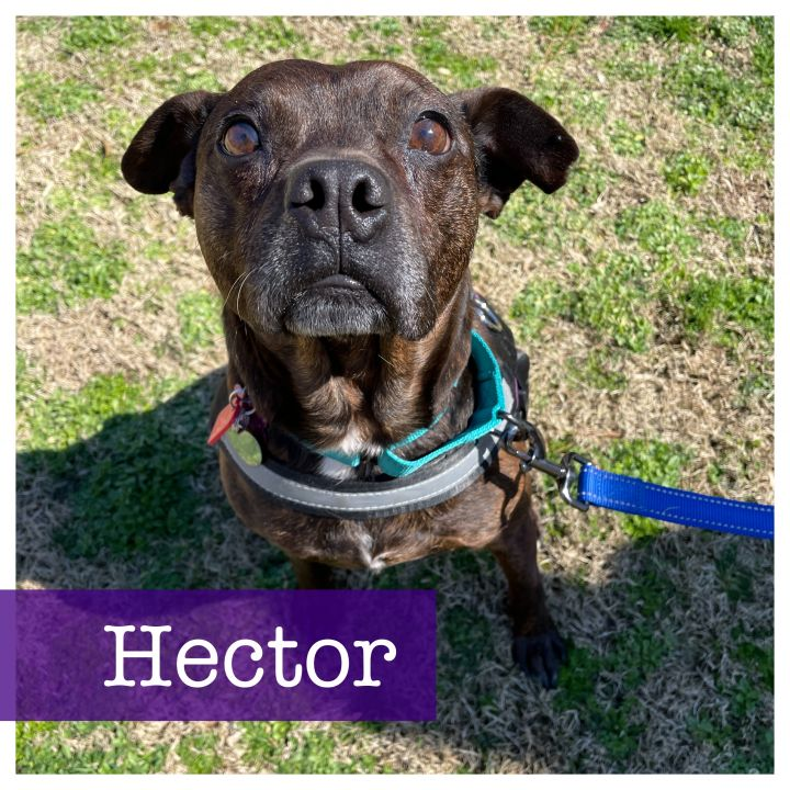 Hector, an adopted Boston Terrier & Pug Mix in Cumming, GA