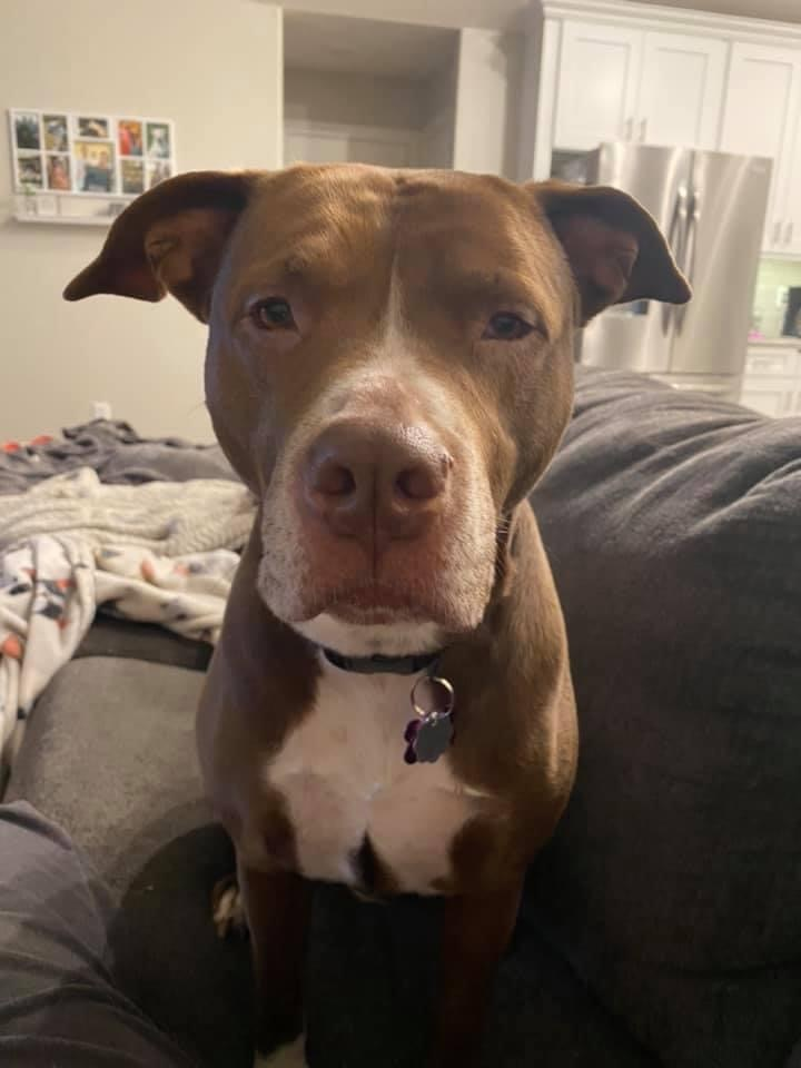 Queen Zoey, an adopted Pit Bull Terrier Mix in Springfield, MO