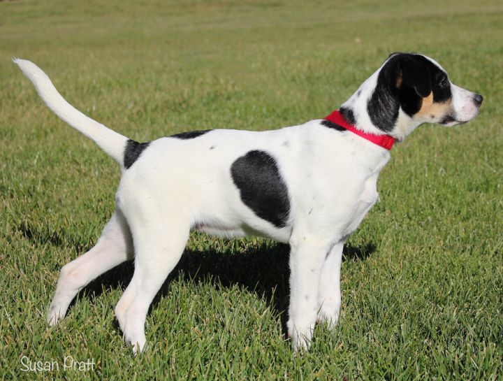 Charley, an adoptable Treeing Walker Coonhound & Beagle Mix in Bedford, VA