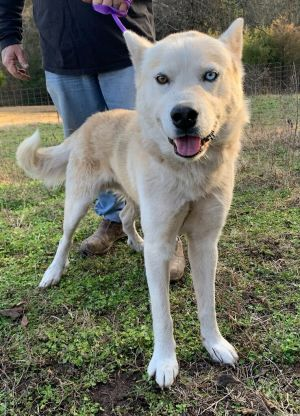 Aerosmith Husky 2 year old male The perfect home for Aerosmith will have Husky experience We will b