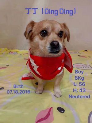 DingDing Tibetan Spaniel Dog