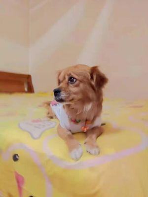 DangDang Tibetan Spaniel Dog