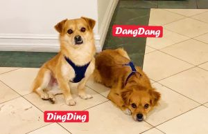 DangDang is an adorable and intelligent girl who was rescued along with her brother DingDing She is