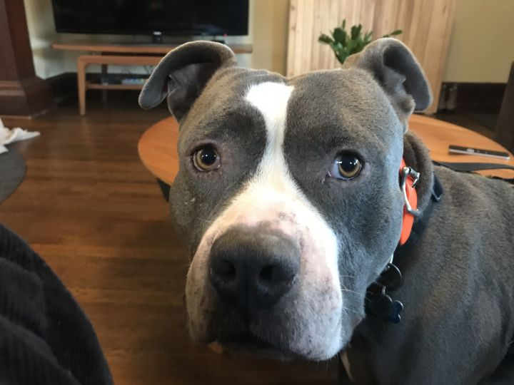 Rudy, an adoptable Pit Bull Terrier in Portland, OR