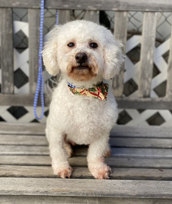 Holly 2, an adopted Poodle & Maltipoo Mix in Los Alamitos, CA