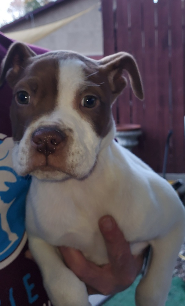 Sugar, an adopted American Bulldog Mix in Hardeeville, SC_image-1