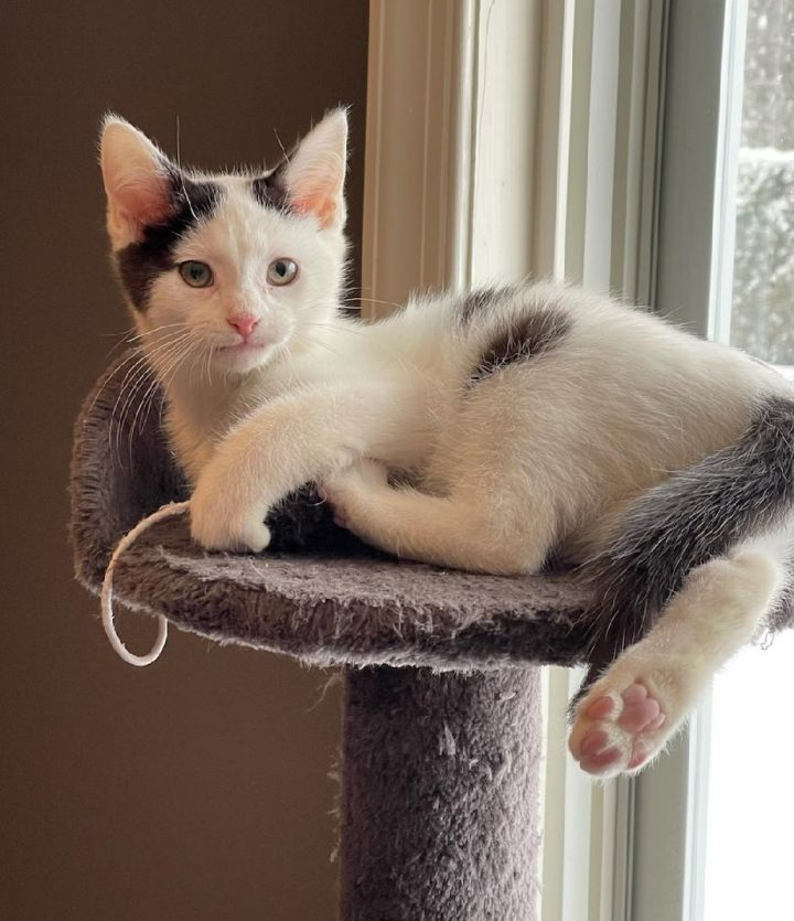 Archie, an adopted Domestic Short Hair in Allentown, PA