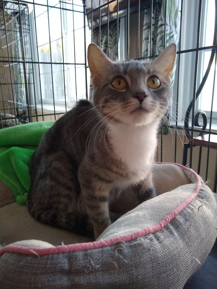 Miss Dallas, an adopted Domestic Short Hair in Allentown, PA