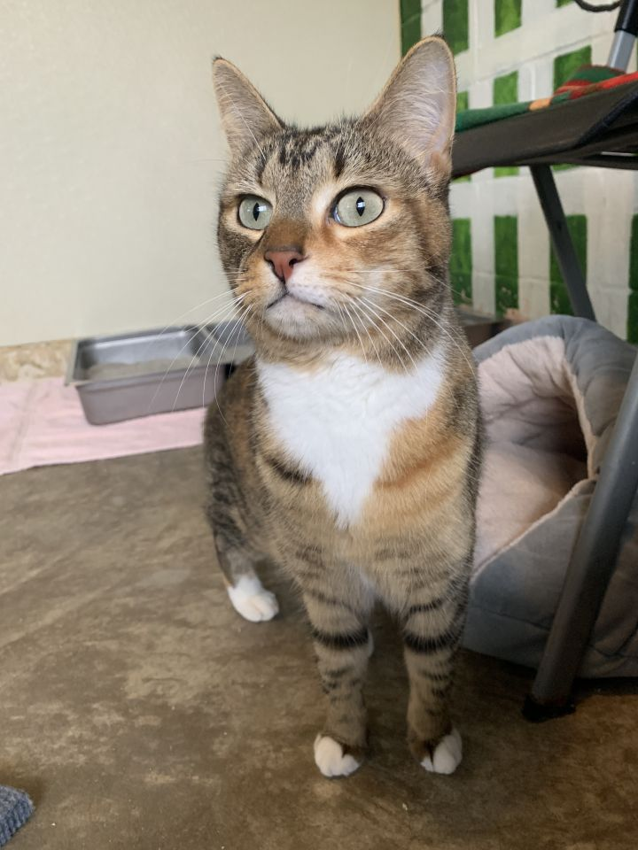 Margo, an adopted Domestic Medium Hair Mix in Columbus, NC