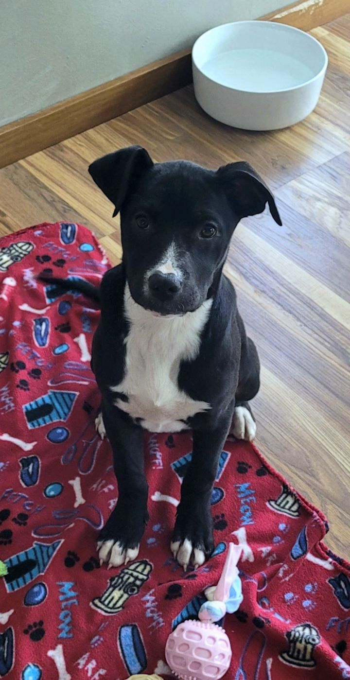 Sarah, an adopted Labrador Retriever & Hound Mix in Naperville, IL