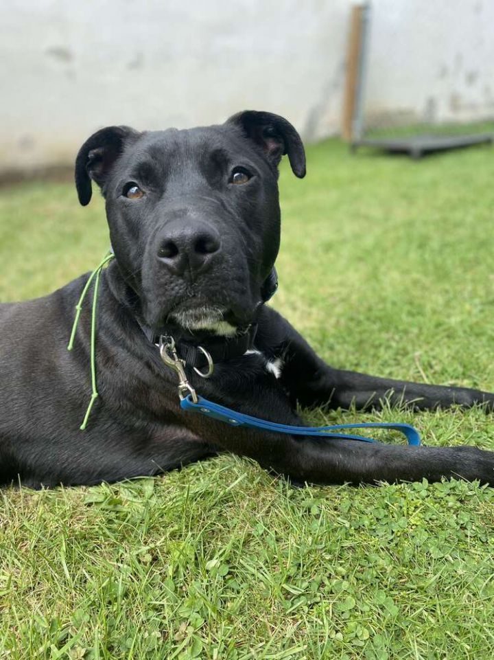 THOR, an adoptable Pit Bull Terrier & Labrador Retriever Mix in Dallas, PA