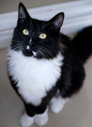 Oliver Tuxedo Cat