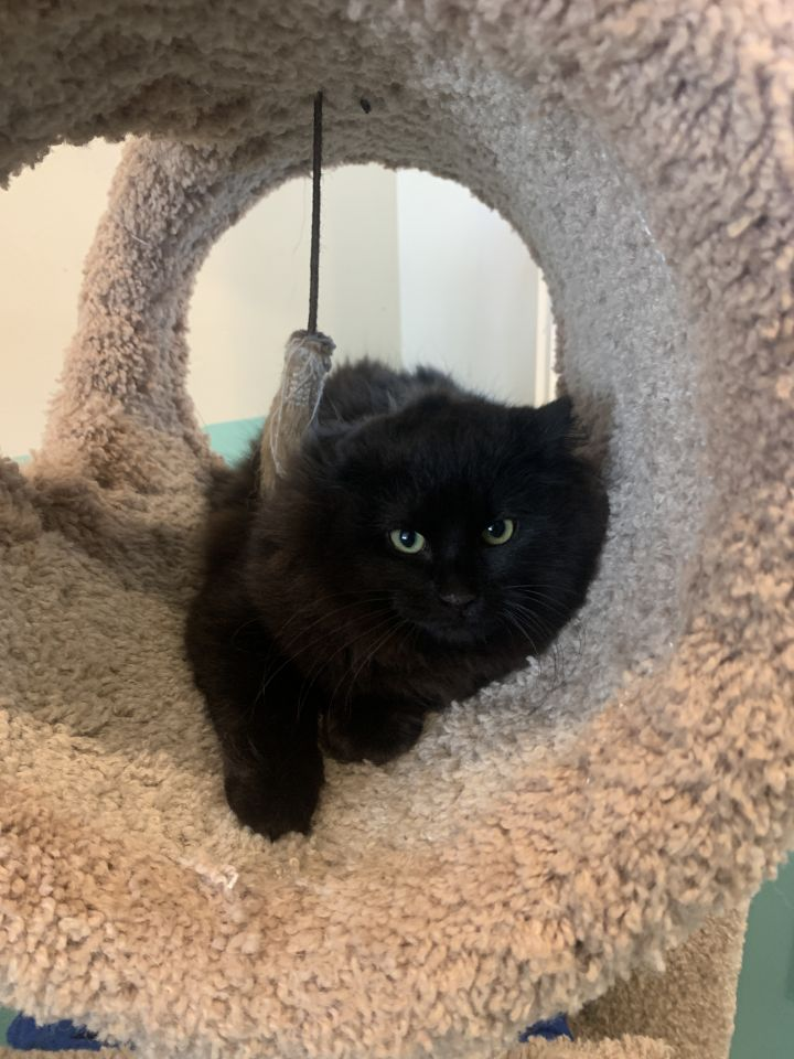 Stormy, an adopted Domestic Medium Hair in Jackson, WY
