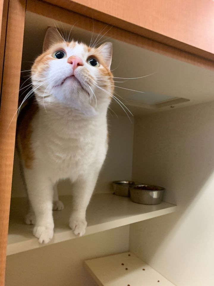 Snowflake, an adopted Domestic Short Hair in Jackson, WY
