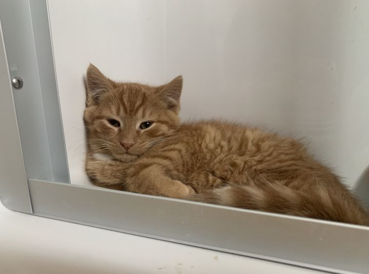 Garfield, an adopted Domestic Short Hair & Tabby Mix in Breinigsville, PA