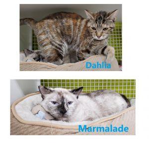 Marmalade & Dahlia (Bonded Pair) (La Habra/Whittier Petco) Siamese Cat