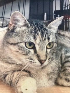 Scribbles, an adoptable Domestic Short Hair in Ridgway, CO
