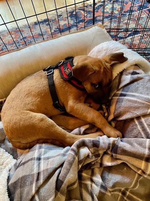 Mo, an adopted Labrador Retriever Mix in Alexandria, VA_image-3